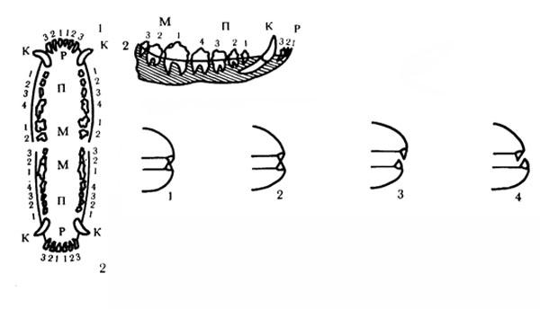 Зубы собаки. Слева - схема